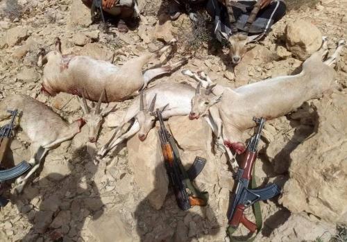 نشطاء من ابناء شبوة يستنكرون عمليات الصيد الجماعي للوعول والغزلان في جبال شبوة.