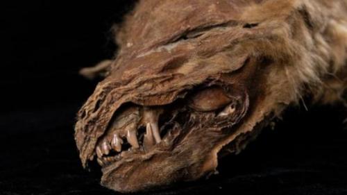 """شاهد/ العثور على ذئب محنط """"عاش قبل 56 ألف عام"""""""